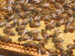 Honey Bees and Honeycomb #2